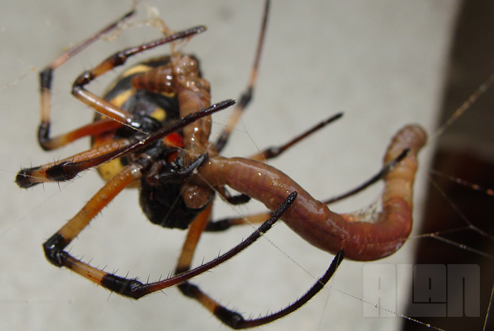 Aranha x Minhoca (foto: Alan Corrêa)