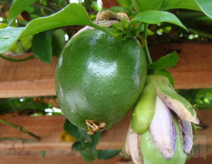 Passiflora alata (foto: Alan Corrêa)