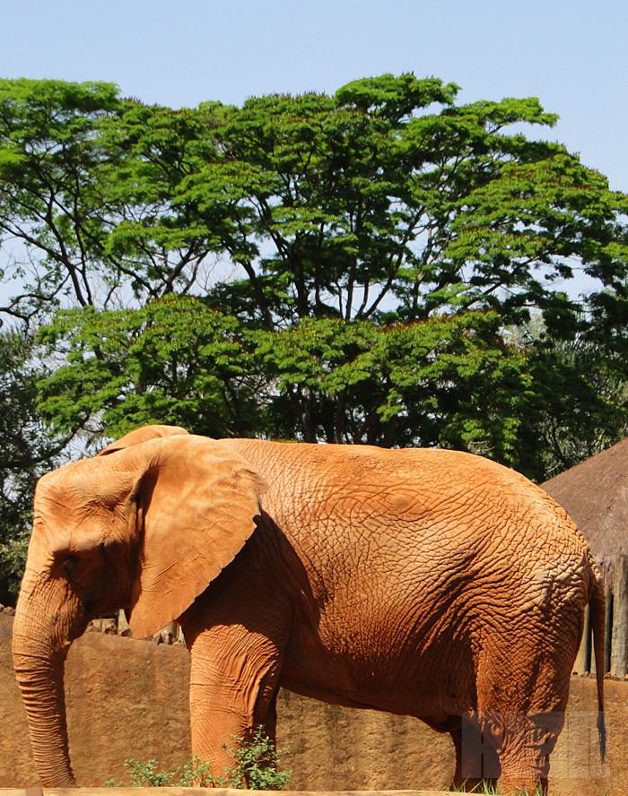 Elefante Africano (foto: Alan Corrêa)