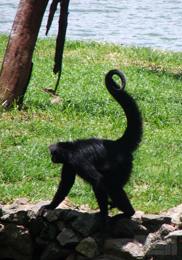Macaco-aranha-preto (foto: Alan Corrêa)