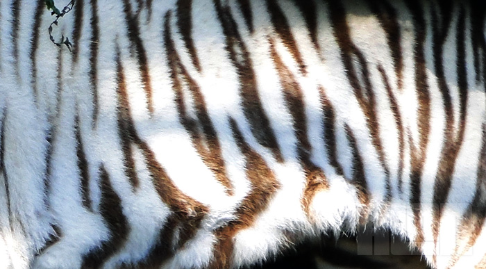 Tigre branco (foto: Alan Corrêa)